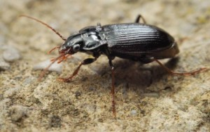 10-30-14 Ground beetle