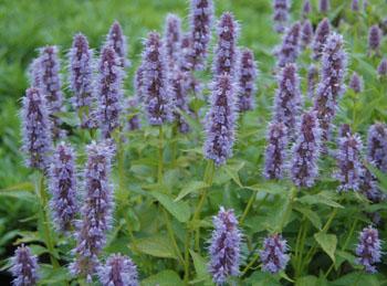 2015-6-17 Blue anise hyssop