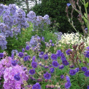 2015-7-31 Ireland blue flowers