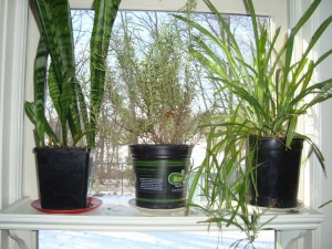 3 window plants - rosemary