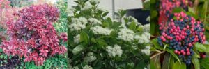 Virburnum nudum Winterthur