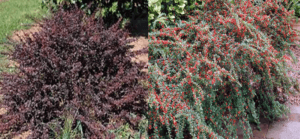 Japanese Barberry & Cotoneaster