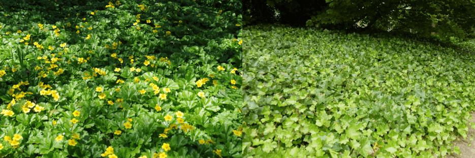 Barren Strawberry vs. English Ivy